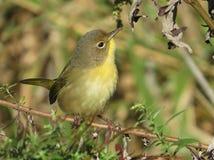 Pospolitego Yellowthroat ptak Umieszczający Na gałąź W spadku ulistnieniu Obraz Stock
