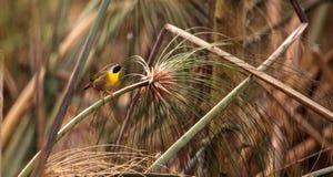 Pospolitego yellowthroat warbler Geothlypis trichas Obraz Stock
