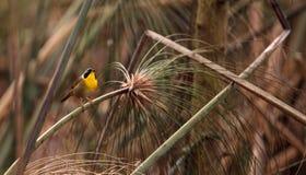 Pospolitego yellowthroat warbler Geothlypis trichas Fotografia Stock