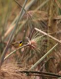 Pospolitego yellowthroat warbler Geothlypis trichas Zdjęcia Stock