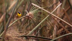 Pospolitego yellowthroat warbler Geothlypis trichas Zdjęcie Stock