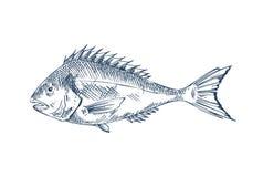 Pospolitej żerdzi Specie Popularny Jadalny Rybi plakat ilustracji
