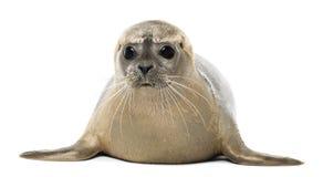 Pospolitej foki lying on the beach, obszycie, Phoca vitulina, 8 miesięcy starych zdjęcia royalty free