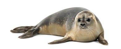 Pospolitej foki lying on the beach, Phoca vitulina, 8 miesięcy starych, odosobniony Fotografia Stock