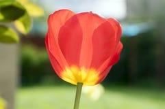 Pospolitej pięknej wiosny czerwony tulipan w kwiacie w ogródzie Obrazy Stock