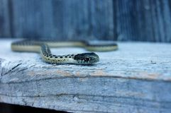 Pospolitej podwiązki wąż patrzeje dla jedzenia Zdjęcie Royalty Free