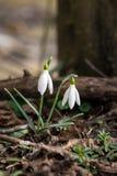 Pospolity śnieżyczka kwiat obraz stock
