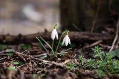 Pospolity śnieżyczka kwiat zdjęcie royalty free