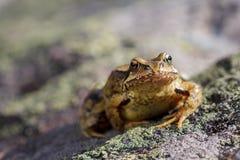 Pospolity żaby obsiadanie na kamieniu (Rana temporaria) zdjęcia stock