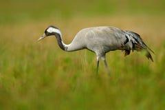 Pospolity żuraw, Grus grus, duży ptak w natury siedlisku, Jeziorny Hornborga, Szwecja Żuraw w zielonej trawie Przyrody scena od E Zdjęcie Royalty Free