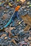 Pospolity agama, Agama agama, pięknie barwią, w Matopos parku narodowym, Zimbabwe Obrazy Royalty Free