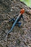 Pospolity agama, Agama agama, pięknie barwią, w Matopos parku narodowym, Zimbabwe Obraz Royalty Free