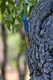 Pospolity agama, Agama agama, pięknie barwią, w Matopos parku narodowym, Zimbabwe Fotografia Royalty Free