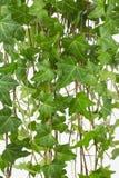 Pospolity angielski bluszcza winogradu tło Zdjęcie Royalty Free