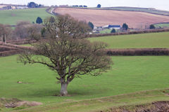 Pospolity Angielski dębowy drzewo w zimie Fotografia Stock