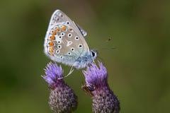 Pospolity błękit między dwa osetów kwiatami obrazy stock