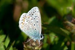 Pospolity błękit (Polyommatus Icarus) Zdjęcie Stock