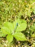 Pospolity Błękitny Damselfly & x28; Enallagma cyathigerum& x29; na liściu Obraz Stock