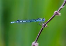 Pospolity Błękitny Damselfly Enallagma cyathigerum odpoczywa przy jeziorem, m Fotografia Royalty Free