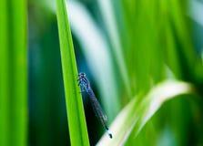 Pospolity Błękitny Damselfly Enallagma cyathigerum odpoczywa przy jeziorem, m Obrazy Royalty Free