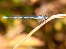 Pospolity błękitny damselfly Enallagma cyathigerum widzieć od strony na ponownym Fotografia Stock