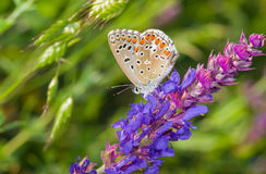 Pospolity Błękitny motyl na dzikiej mędrzec Fotografia Royalty Free