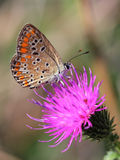Pospolity Błękitny obsiadanie na fiołkowym kwiacie (Polyommatus Icarus) Fotografia Royalty Free