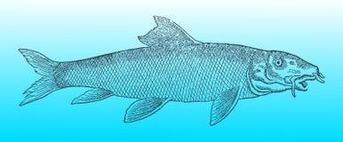 Pospolity barbel w profilowym widoku na niebieskozielonym gradientowym tle &-x28; po dziejowego lub rocznika woodcut illustrat Zdjęcia Royalty Free