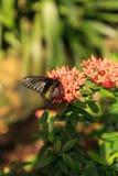 Pospolity Birdwing motyli Troides Helena fotografia royalty free