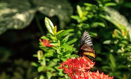 Pospolity Birdwing motyli Troides Helena obraz stock