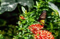 Pospolity Birdwing motyli Troides Helena fotografia stock