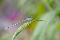 Pospolity bluetail, Fotografia Stock
