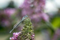 Pospolity bluetail, Zdjęcie Stock