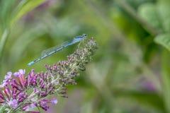 Pospolity bluetail, Zdjęcia Royalty Free