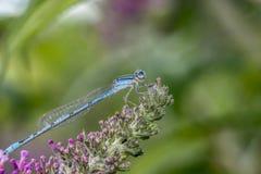 Pospolity bluetail, Zdjęcia Stock