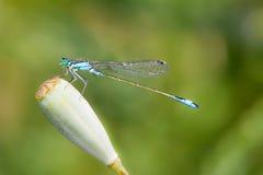Pospolity Bluetail Damselfly Zdjęcia Royalty Free