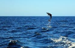 Pospolity Bottlenose delfin Zdjęcie Royalty Free
