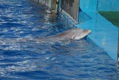 Pospolity Bottlenose delfin - Tursiops truncatus Zdjęcia Stock