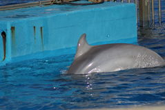 Pospolity Bottlenose delfin - Tursiops truncatus Zdjęcie Stock