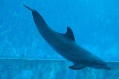 Pospolity bottlenose delfin (Tursiops truncatus) Zdjęcie Royalty Free