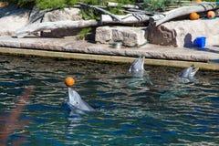 Pospolity bottlenose delfin, zoo Zdjęcie Royalty Free