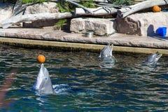 Pospolity bottlenose delfin, zoo Zdjęcie Stock