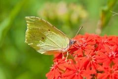 Pospolity brimstone na kwiatu Lychnis chalcedonica (Gonepteryx rhamni) Obrazy Stock