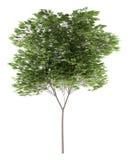 Pospolity bukowy drzewo na bielu Fotografia Royalty Free