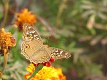 Pospolity bushbrown motyl na kwiatach Obrazy Stock