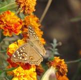 Pospolity bushbrown motyl na kwiatach Obrazy Royalty Free