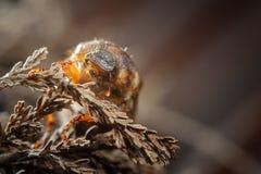 Pospolity chrząszcz na wysuszonej roślinie Bezkręgowa europejska zaraza Fotografia Stock