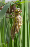 Pospolity Clubtail Wyłania się Od Swój larwy Zdjęcie Royalty Free