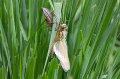 Pospolity Clubtail Wyłania się Od Swój larwy Fotografia Royalty Free