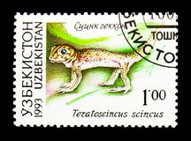 Pospolity cudu gekon, fauna Uzbekistan (Teratoscincus scincus) obraz royalty free